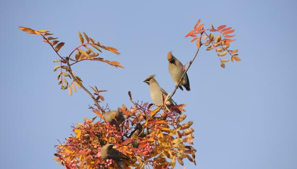 Bohemian waxwing feeding on an ornamental rowan tree in a town garden ©Lorne Gill. For information on reproduction rights contact the Scottish Natural Heritage Image Library on Tel. 01738 444177 or www.nature.scot
