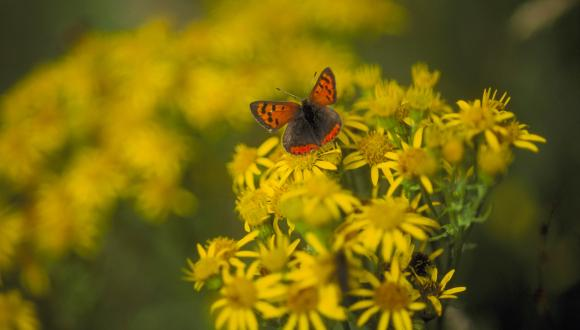 Small Copper, Lycaena phlaeus. Forvie NNR, Grampian Area ©Lorne Gill/SNH. For information on reproduction rights contact the Scottish Natural Heritage Image Libary on tel. 01738 444177 or www.nature.scot