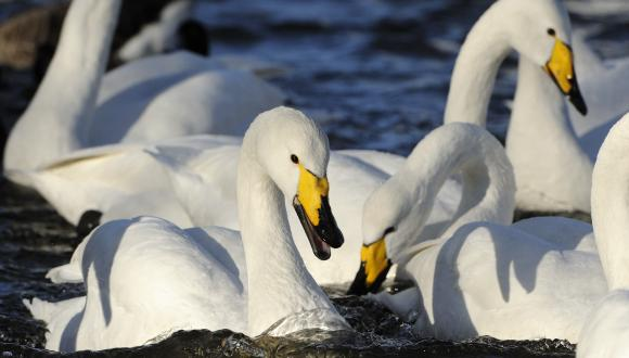 Whooper swans (Cygnus cygnus)©Lorne Gill. For information on reproduction rights contact the Scottish Natural Heritage Image Library on Tel. 01738 444177 or www.nature.scot