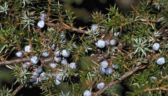 Juniper berries ©Lorne Gill/SNH.  For information on reproduction rights contact the Scottish Natural Heritage Image Library on Tel. 01738 444177 or www.nature.scot