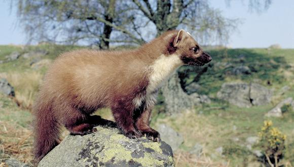 Pine Marten ©Lorne Gill/SNH. For information on reproduction rights contact the Scottish Natural Heritage Image Library on Tel. 01738 444177 or www.nature.scot