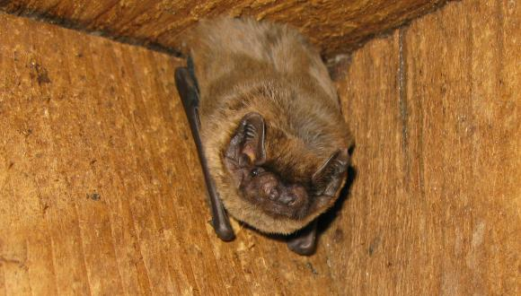 Leisler's bat (Nyctalus leisleri)©John Haddow/SNH. For information on reproduction rights contact the Scottish Natural Heritage Image Library on Tel. 01738 444177 or www.nature.scot