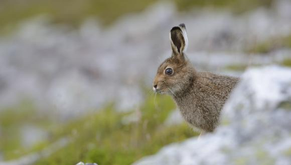 Mountain hare (Lepus timidus) in its summer coat. ©Lorne Gill/SNH. For information on reproduction rights contact the Scottish Natural Heritage Image Library on Tel. 01738 444177 or www.nature.scot