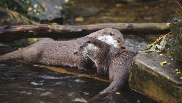Captive European otters (Lutra lutra)©Lorne Gill. For information on reproduction rights contact the Scottish Natural Heritage Image Library on Tel. 01738 444177 or www.nature.scot