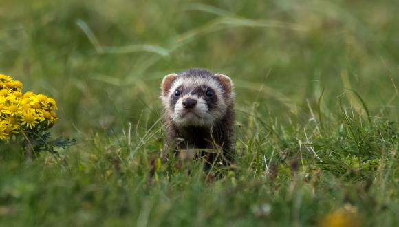 Polecate ferret ©David Whitaker, Highland WIldlife Photography