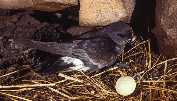 Storm Petrel sitting on a nest. ©David Whitaker/ Highland WIldlife Photography. For information on reproduction rights contact the Scottish Natural Heritage Image Library on Tel. 01738 444177 or www.nature.scot