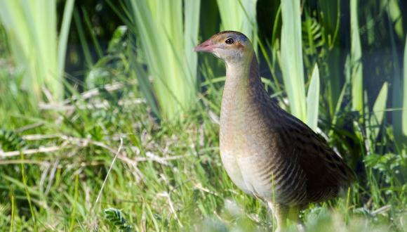 Corncrake (Crex crex) in a wetland area, South Uist, Western Isles Area  ©Lorne Gill/SNH For further information contact Scottish Natural Heritage Image Library, Battleby. Tel 01738 444177 or www.nature.scot