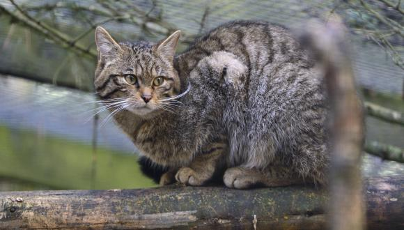 Captive Scottish wildcat (Felis sylvestris grampia), at the Highland Wildlife Park near Aviemore ©Lorne Gill/SNH. For information on reproduction rights contact the Scottish Natural Heritage Image Library on Tel. 01738 444177 or www.nature.scot