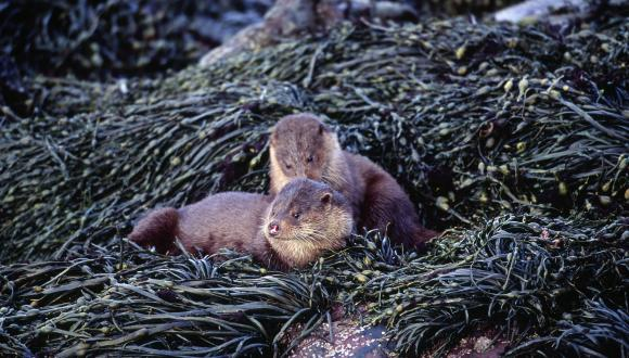 Otter (Lutra lutra) and cub, amongst the shorline seaweed on Loch Scresort, Isle of Rum NNR.  ©Laurie Campbell/SNH.  For information on reproduction rights contact the Scottish Natural Heritage Image Library on Tel. 01738 444177 or www.nature.scot