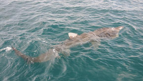 Basking shark. ©Ben James/SNH. All rights reserved. Please contact CMEU for details - snhmarinephotos@nature.scot
