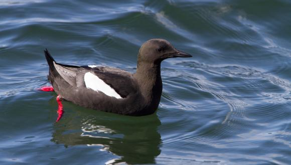 Black Guillemot (Cepphus grylle) . ©David Whitaker. For information on reproduction rights contact the Scottish Natural Heritage Image Library on Tel. 01738 444177 or www.nature.scot