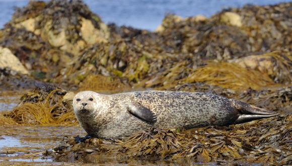 Common seal (Phoca vitulina) resting on rocks at low tide. ©Lorne Gill/SNH. For information on reproduction rights contact the Scottish Natural Heritage Image Library on Tel. 01738 444177 or www.nature.scot