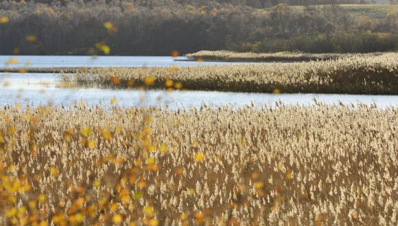Reedbeds at Muir of Dinnet National Nature Reserve. ©Lorne Gill/SNH. For information on reproduction rights contact the Scottish Natural Heritage Image Library on Tel. 01738 444177 or www.nature.scot