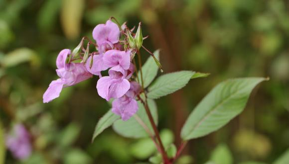 Himalayan Balsam (Impatiens glandulifera), a non-native invasive species of wildflower. ©Lorne Gill/SNH.  For information on reproduction rights contact the Scottish Natural Heritage Image Library on Tel. 01738 444177 or www.nature.scot