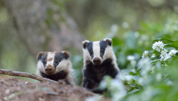 Badgers. ©Laurie Campbell. NON SNH COPYRIGHT, FOR SNH USE ONLY ON THE WEBSITE. For information on reproduction rights contact the Scottish Natural Heritage Image Library on Tel. 01738 444177 or www.nature.scot