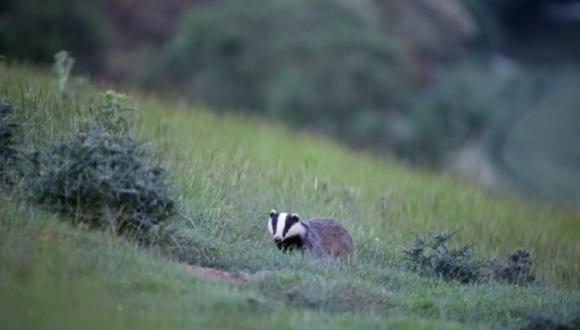 Badger (Meles meles) adult at dusk. ©Laurie Campbell. For information on reproduction rights contact the Scottish Natural Heritage Image Library on Tel. 01738 444177 or www.nature.scot