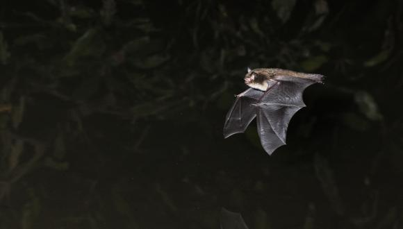 Daubentons Bat. ©Laurie Campbell. For information on reproduction rights contact the Scottish Natural Heritage Image Library on Tel. 01738 444177 or www.nature.scot