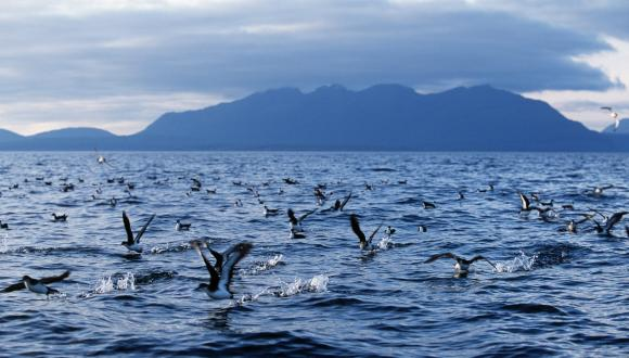 Manx Shearwaters (Puffinus puffinus) flock feeding on the sea around the Isle of Rum NNR. ©Laurie Campbell/SNH. For information on reproduction rights contact the Scottish Natural Heritage Image Library on tel. 01738 444177 or www.nature.scot