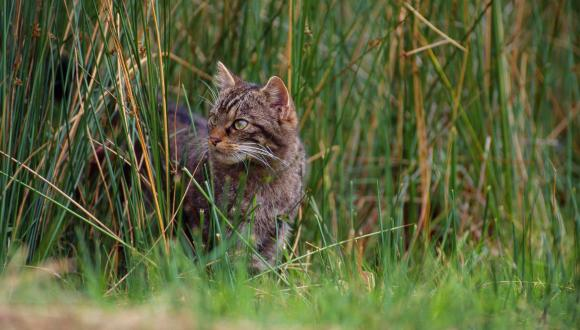 Scottish Wildcat (Felis silvestris). ©Laurie Campbell. For information on reproduction rights contact the Scottish Natural Heritage Image Library on Tel. 01738 444177 or www.nature.scot