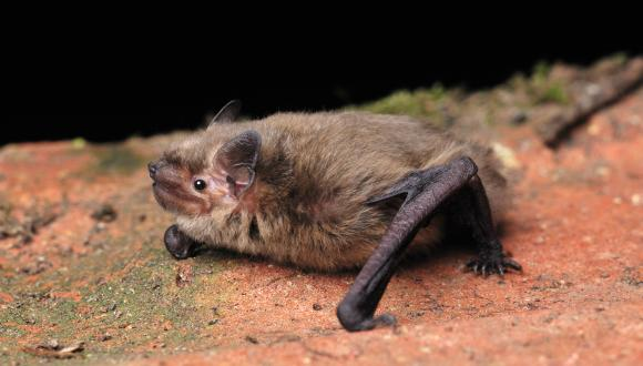 Soprano Pipistrelle Bat. ©Laurie Campbell. NON SNH COPYRIGHT, FOR SNH USE ONLY ON THE WEBSITE. For information on reproduction rights contact the Scottish Natural Heritage Image Library on Tel. 01738 444177 or www.nature.scot