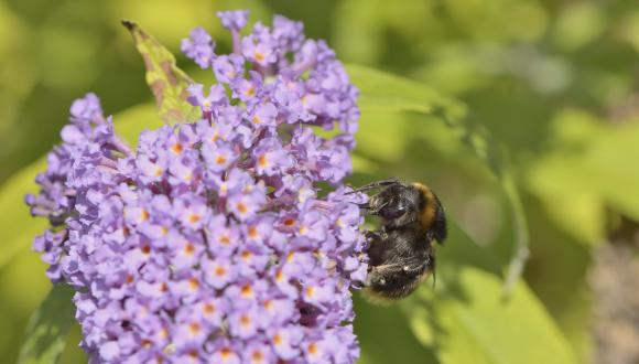 A bumblebee feeding on a Buddleia bush. ©Lorne Gill. For information on reproduction rights contact the Scottish Natural Heritage Image Library on Tel. 01738 444177 or www.nature.scot