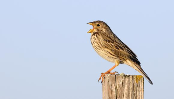 Singing Corn Bunting (Milaria calandra). ©Lorne Gill. For information on reproduction rights contact the Scottish Natural Heritage Image Library on Tel. 01738 444177 or www.nature.scot