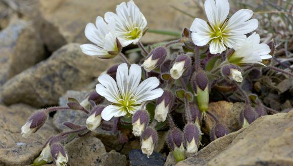 Edmondston's Chickweed, within Shetland Geopark. ©Lorne Gill/SNH. For information on reproduction rights contact the Scottish Natural Heritage Image Libary on tel. 01738 444177 or www.nature.scot