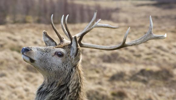 Red deer stag (Cervus elaphus). ©Lorne Gill/SNH. For information on reproduction rights contact the Scottish Natural Heritage Image Library on Tel. 01738 444177 or www.nature.scot