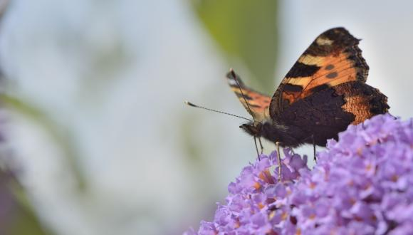 A small tortoiseshell butterfy (Aglais urticae) feeding on a Buddleia bush. ©Lorne Gill. For information on reproduction rights contact the Scottish Natural Heritage Image Library on Tel. 01738 444177 or www.nature.scot