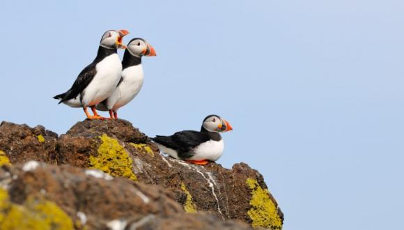 3 puffins on a rock