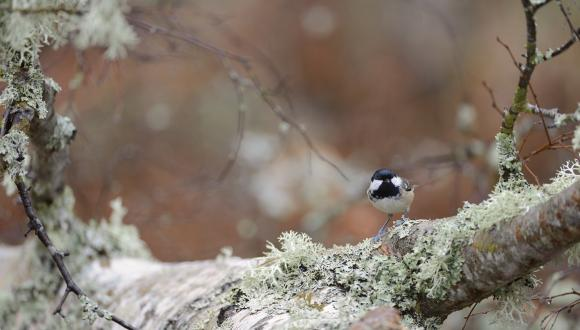 Coal tit perching on a lichen covered birch. ©Lorne Gill/SNH. For information on reproduction rights contact the Scottish Natural Heritage Image Library on Tel. 01738 444177 or www.nature.scot