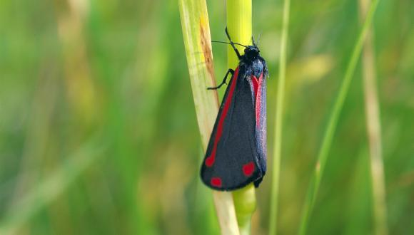 Cinnabar moth. ©Lorne Gill/SNH For information on reproduction rights contact the Scottish Natural Heritage Image Library on Tel. 01738 444177 or www.nature.scot