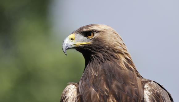 Close up of a captive golden eagle (Aquila chrysaetos). ©Lorne Gill/SNH. For information on reproduction rights contact the Scottish Natural Heritage Image Library on Tel. 01738 444177 or www.nature.scot