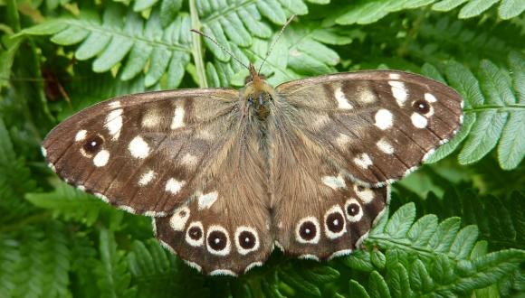 Speckled Wood on fern - Stuart Graham, West Argyll