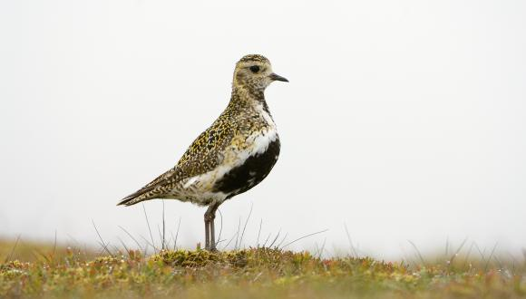 Male Golden plover (Pluvialis apricaria) in all his fine summer plumage. ©Lorne Gill/SNH. For information on reproduction rights contact the Scottish Natural Heritage Image Library on Tel. 01738 444177 or www.nature.scot