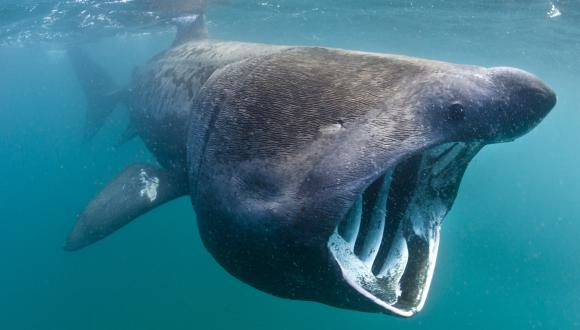 Basking shark feeding ©Alex Mustard 2020VISION. For information on reproduction rights contact the Scottish Natural Heritage Image Library on Tel. 01738 444177 or www.nature.scot