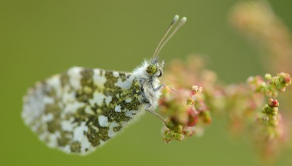Orange-tip butterfly. ©Lorne Gill/SNH. For information on reproduction rights contact the Scottish Natural Heritage Image Library on Tel. 01738 444177 or www.nature.scot