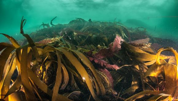 Kelp forest. ©George Stoyle/SNH. For information on reproduction rights contact the Scottish Natural Heritage Image Library on Tel. 01738 444177 or www.nature.scot
