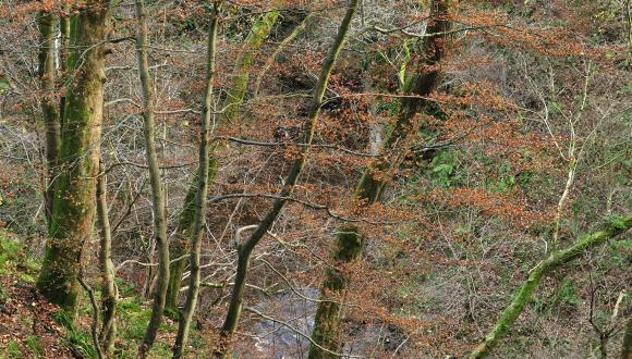 Beech woodland in Cleghorn Glen near Lanark, Clyde Valley Woods NNR, Strathclyde and Ayrshire Area.©Lorne Gill/SNH