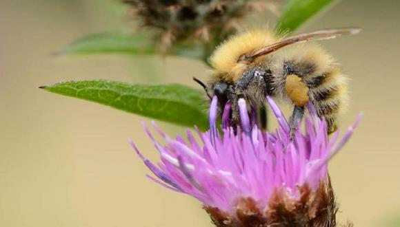 Close up of bee on thistle, ©SNH/Lorne GIll. For information on reproduction rights contact the Scottish Natural Heritage Image Library on Tel. 01738 444177 or www.nature.scot