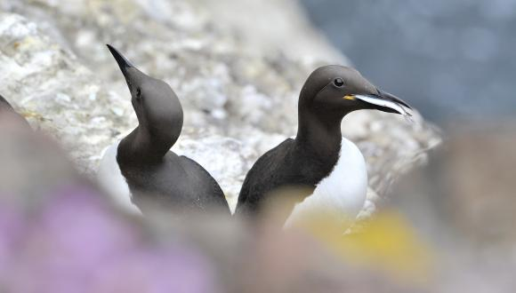 Guillemots at Fowlsheugh ©Lorne Gill SNH