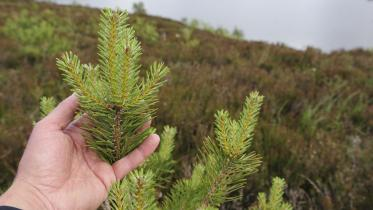 Young scot's pine trees planted at Little Assynt estate ©Lorne Gill/SNH/2020VISION. For information on reproduction rights contact the Scottish Natural Heritage Image Library on Tel. 01738 444177 or www.nature.scot