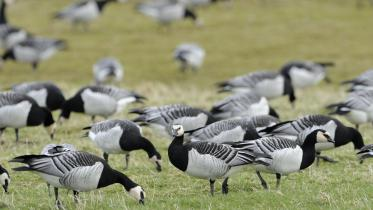 Barnacle geese (Branta leucopsis) at Caerlaverock National Nature Reserve ©Lorne Gill/SNH.  For information on reproduction rights contact the Scottish Natural Heritage Image Library on Tel. 01738 444177 or www.nature.scot