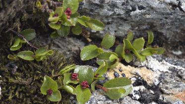 Least Willow (Salix herbacea) growing near the summit of An Caber, Ben Wyvis NNR. ©Lorne Gill/SNH. For information on reproduction rights contact the Scottish Natural Heritage Image Library on tel. 01738 444177 or www.nature.scot