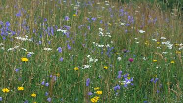 Wildflower meadow at Keltneyburn, Perthshire. ©Lorne Gill/SNH. For information on reproduction rights contact the Scottish Natural Heritage Image Library on Tel. 01738 444177 or www.nature.scot