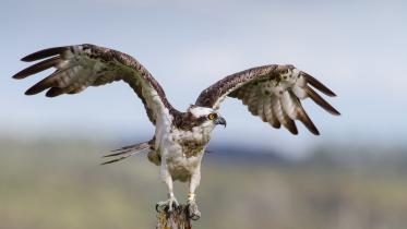 Osprey (Pandion haliaetus). ©David Whitaker, Highland Wildlife Photography 2014. FOR SNH WEBSITE USE ONLY, NON SNH COPYRIGHT. Contact the Scottish Natural Heritage Image Library on Tel. 01738 444177 or www.nature.scot