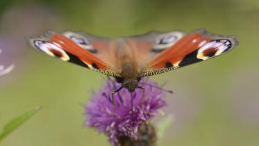 A peacock butterfly (Aglais io) feeding on the SNH wildflower meadow at Battleby, Perthshire. ©Lorne Gill/SNH. For information on reproduction rights contact the Scottish Natural Heritage Image Library on Tel. 01738 444177 or www.nature.scot