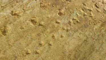 Fossilised dinosaur tracks in sandstone blocks at Clashach quarry near Hopeman. Moray and Caithness. ©Lorne Gill/SNH. For information on reproduction rights contact the Scottish Natural Heritage Image Library on Tel. 01738 444177 or www.nature.scot
