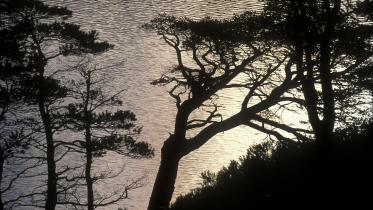 Caledonian pines silhoutted against sunrise light on Loch Clair. ©John MacPherson/SNH. For information on reproduction rights contact the Scottish Natural Heritage Image Library on Tel. 01738 444177 or www.nature.scot