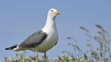 Lesser black-backed gulls (Larus fuscus). ©Lorne Gill/SNH. For information on reproduction rights contact the Scottish Natural Heritage Image Library on Tel. 01738 444177 or www.nature.scot